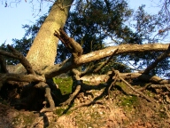 Tree roots, Chertsey