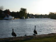 Geese and the Thames, Shepperton