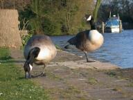 Geese, Shepperton