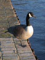 Goose, Shepperton