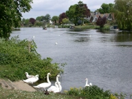 Swans and the Thames, Staines