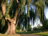 Weeping willow, Godalming