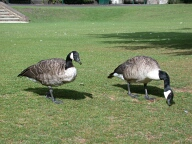 Geese, Ewell