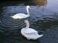 Swans on the Thames, Thames Ditton
