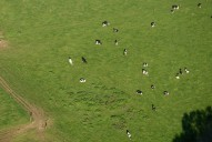 Aerial photograph of Cows in field north of Reigate