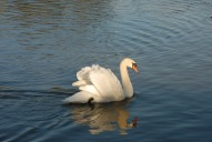 Swan on the Thames, Walton