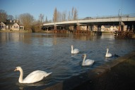 Swans on Thames and Walton bridge, Walton