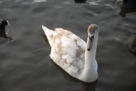Swan, Priory Park, Reigate