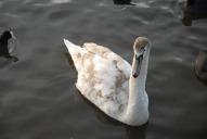 Swan, Priory Park, Reigate
