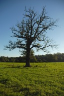 Tree in field north of Box Hill and Westhumble railway station, Dorking